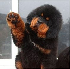 actuallygrimes: the tibetan mastiff - the most amazing dog i have ever seen.