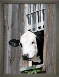 A Cow Peers out of a Barn Window in Sutton, N.H. Fotoprint bij AllPosters.nl