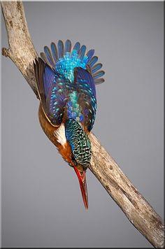 IJsvogel - Foto J van noorwyk.