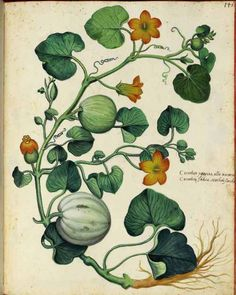 Squash vine. Ulisse Aldrovandi (1599).