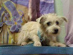 Friends of Moreno Valley Shelter Animals ★★PER SHELTER, AT RISK FOR EUTHANASIA AT EOD FEBRUARY 12TH WITHOUT AN ADOPTION OR RESCUE COMMITMENT★★  #A445488 (Moreno Valley, CA) male, white Terrier mix mix. The shelter thinks I am about 10 months old I have been at the shelter since Feb 02, 2015 and I may be available for adoption on Feb 10, 2015 at 4:09PM.   http://www.petharbor.com/pet.asp?uaid=MRVL.A445488