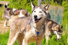 Have a scavenger hunt to learn more about the Iditarod mushers!