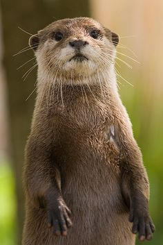 I just want to squeeze it!!! #OtterLove