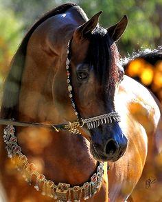 WC Ali Gazal.  Arabian stallion Owned by Western Cross Arabians Texas USA photo by Nancy Pierce. Tack by Arabian Fancy Gina Dupree