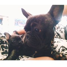 'What IS This?', Big Brother and New Baby French Bulldog, via Batpig & Me Tumblr