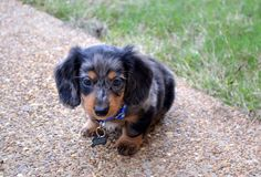 Black dapple dachshund puppy