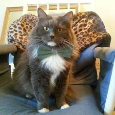Meet Moe Grey a 3 year old RagMuffin mix rescue he was in the Pets are Heroes Too tour 2015 telling his rescue storie  he is my sister therapy cat @meowquarterly @paws_pr #mqcatstar  Moe Grey has Star quality has fashion style wearing newest Bow Ties helping other animals in need donating to animal shelters Moe Grey touches his followers hearts expecially on his facebook page  one follower inbox me saying how much she looks forward to seeing Moe Grey that he inspires her everyday she…