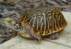 Ornate Box Turtle - use to play with these alot when I was young. Had a turtle Farm! Wood Turtle, Turtle Love, Alligators, Crocodiles, Reptiles And Amphibians, Mammals, Eastern Box Turtle, Turtle Names, Box Turtles