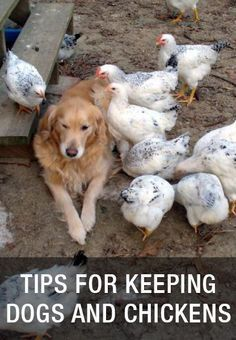 Tips For Keeping Dogs And Chickens: http://www.mychickencoop.net/tips-keeping-dogs-chickens/
