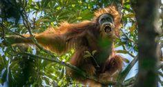 Tim Laman, 1er. premio, Reportajes de naturaleza - Un orangután macho adulto hace un despliegue agre... - Tim Laman