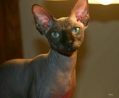 Sphynx Kitty
