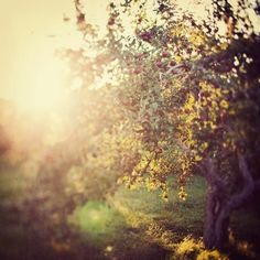 Autumn Photo, Apple Orchard, Warm Sun, Glow, Landscape Photography - Comfort me with apples