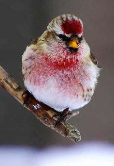 Male Redpoll Bird