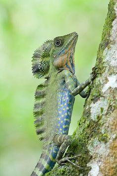 Great Angle-head lizard(Gonocephalus grandis) photographed by Kurt Orion G