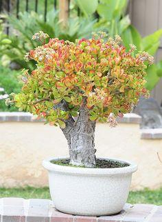 13 year old Jade Plant. Crassula Ovata - Jade Plant - Money Tree
