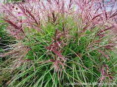 Ogrodnictwo od A do Z : Miskant chiński 'Ferner Osten'- Miscanthus sinensi...