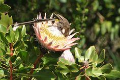 White Protea: White King Protea Flower, King Protea Flower, Protea ...