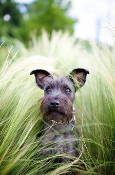 Schnauzer - in grass