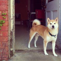 Kenji. Shiba Inu.