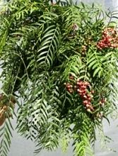 Hanging Pink Pepperberry, without the pink berries,  this is a great foliage to cascade in your bouquet