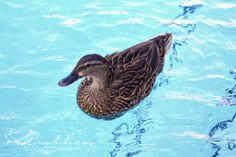 duck in a swimming pool