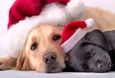Cute and funny pictures of Christmas animals Merry Christmas, Christmas Puppy, Christmas Animals, Christmas Morning, Christmas Time, Xmas, Big Dogs, I Love Dogs, Puppy Love