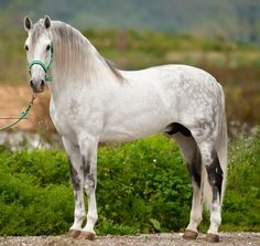 Andalusian. In recent times, the name of the breed has been changed to PRE (Pura Raza Española) or Pure Spanish Breed. There is controversy because of that.