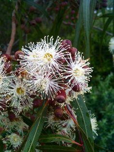 Tasmanian Blue Gum (Eucalyptus globules) Native to Tasmania and Victoria