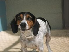 Petango.com – Meet DUSTER, a 4 years Beagle / Dachshund, Standard Smooth Haired available for adoption in TAMPA, FL