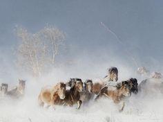 Stampede of Wild Horses in Hexigten, Mongolia in below Freezing Weather