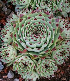 "Sempervivum tectorum 'Greenii' ""Hens & Chicks"" - Buy Online at ..."