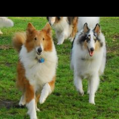 Gorgeous collies out for a stroll.
