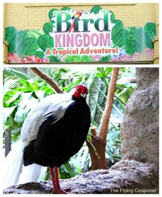 Silver Pheasant at the Bird Kingdom in Niagara Falls, Ontario, Canada. Things to do in Niagara Falls - Travel tips, trips and vacations. The Flying Couponer | Family. Lifestyle. Savings.