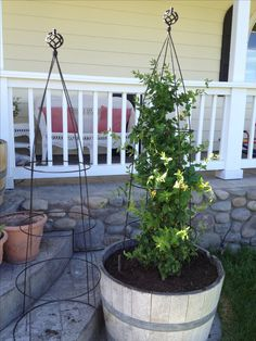 DIY trellis/obelisk. Paint a tomato cage, use a curtain finial for the ends, and you have an easy and inexpensive trellis/obelisk.