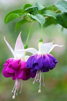 Fuchsia - it might be difficult to spell, (fuchsia, fuschia, fushia) but it's easy to fall in love with this flower, with so many beautiful color choices!