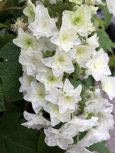 It's got star power! Doubled blooms are similar to those of 'Snowflake', but the individual petals are pointed instead of rounded. The result is a beautiful, lacy panicle - and a very showy plant. It'