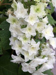 Gatsby's Star ™ Oakleaf Hydrangea - Quart Pot - Proven Winners - Hirt's Gardens