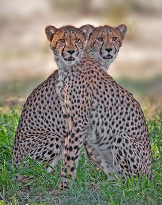 Mergers can distract the viewers from the main subject, or impression that the photo is meant to give. Here the merger can confuse the viewer which cheetah is in front, and which is behind the other.