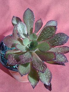 Aeonium Arboreum Purpureum