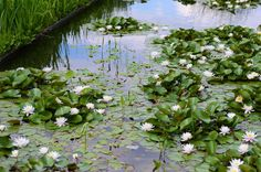 Water Lilies... love