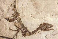 dinosaur fossil - Tarbosaurus, 70 million old, young dinosaur. Related to the giant carnivorous Tyrannosaurus.