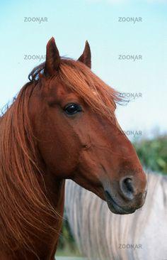 Barb Horse   Foto Berberpferd, Barb Horse Bild #24669