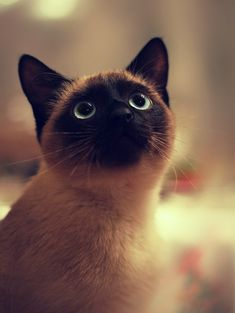 Siamese Cat eyes