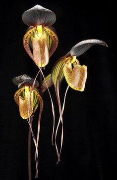 Rare Orchids, Rare Flowers, Exotic Flowers, Tropical Flowers, Beautiful Flowers, Terrarium Plants, House Plants Decor, Orchidaceae, Air Plants