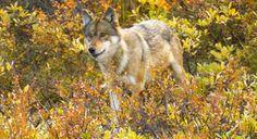 Gray Wolf © John Eastcott / National Geographic Stock