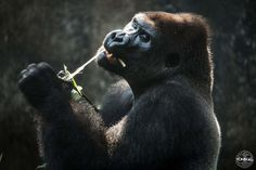 Arno, one of four silverbacks at the Limbe Wildlife Centre