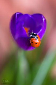 Ladybug on a crocus Beautiful gorgeous pretty flowers