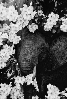 Elefant und Blumen - Photographs - animal animals background iphone wallpaper wallpaper iphone you didn't know existed planet animal drawings and white animal photography animals baby animals animals animals Image Elephant, Elephant Love, Baby Elephants, Tier Wallpaper, Animal Wallpaper, Iphone Wallpaper, Farm Animals, Animals And Pets, Cute Animals