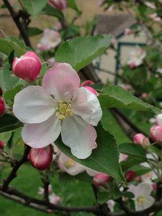 Apple tree blossom Fruit Flowers, Fruit Trees, Blue Flowers, Spring Blossom, Blossom Flower, Flower Art, Blooming Apples, Blooming Trees, Apple Tree Blossoms