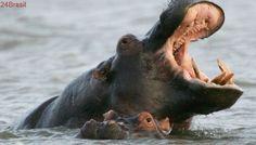 Demanda por dentes de hipopótamos atrai caçadores e deixa animais à beira da extinção